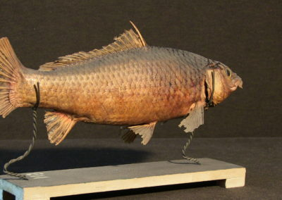 Carpa tassidermizzata (Cyprinus carpia), (2)