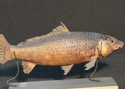 Carpa tassidermizzata (Cyprinus carpia), (4)