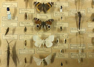 Collezione di insetti (particolare) (11)