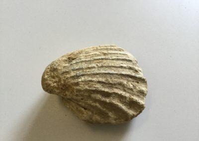 Fossile (calco interno di mollusco bivalve) (2)