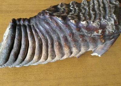 Fossile (dente di Mammut) (4)