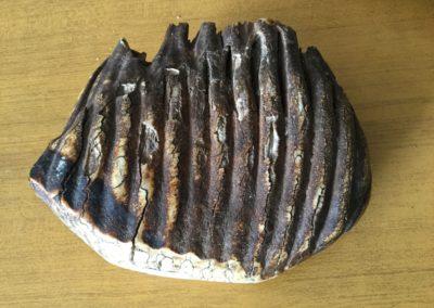 Fossile (dente di Mammut)