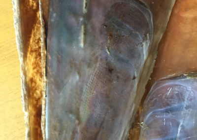 Guscio di mollusco bivalve (Pinna nobilis) (2)