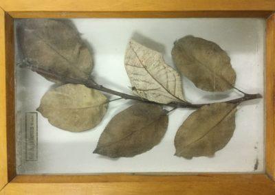Mimetismo criptico (farfalla-foglia) (2)