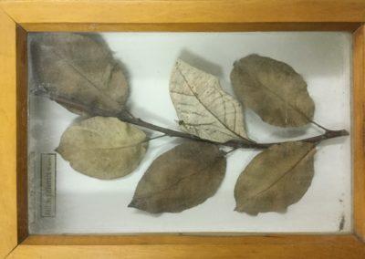 Mimetismo criptico (farfalla-foglia) (4)