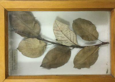 Mimetismo criptico (farfalla-foglia)