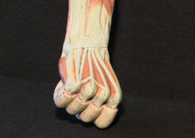 Modello del braccio (mano, dorsale)