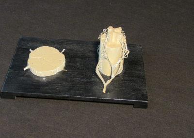 Modello del midollo spinale, con sezione.