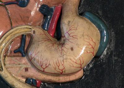 Modello della disposizione di stomaco e fegato, ingrandito.