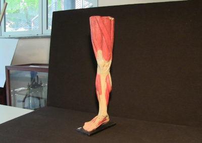 Modello della gamba (visione anteriore)