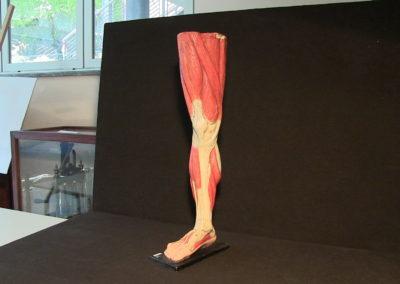 Modello della gamba (visione anteriore),2