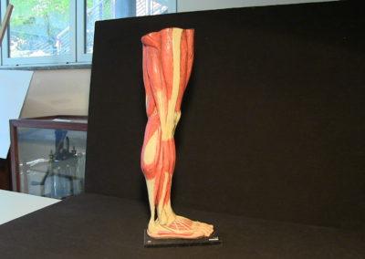 Modello della gamba (visione laterale destra)