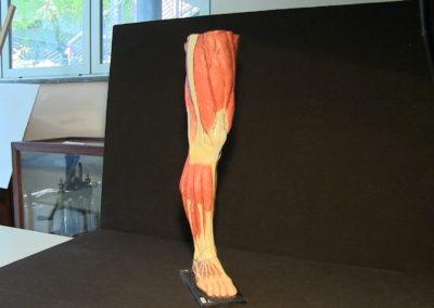 Modello della gamba (visione laterale sinistra)