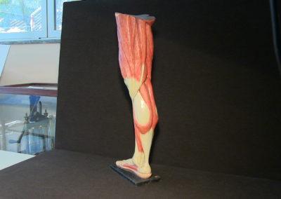 Modello della gamba (visione posteriore) 3