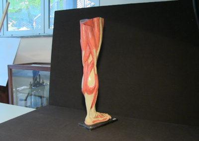 Modello della gamba (visione posteriore)