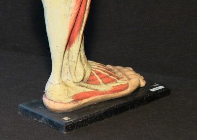 Modello della gamba (visione posteriore, particolare)