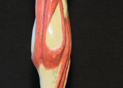 Modello della gamba,polpaccio con muscoli gastrocnemi (visione posteriore)