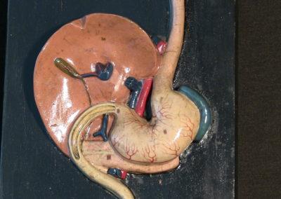 Modello dell'apparato digerente (particolare, disposizione di stomaco e fegato.