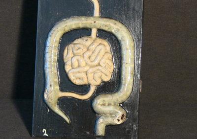 Modello dell'apparato digerente (particolare, intestino tenue e crasso.