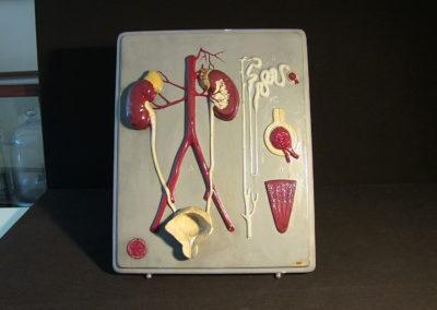 Modello dell'apparato urinario, 2