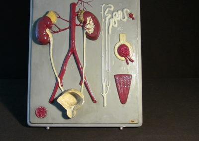 Modello dell'apparato urinario, 3