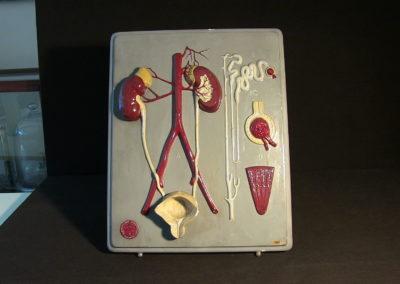 Modello dell'apparato urinario
