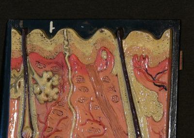 Modello di sezione della cute con ghiandole sudoripare, sebaccee, bulbi piliferi. (2)