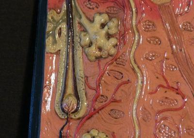 Modello di sezione della cute con ghiandole sudoripare, sebaccee, bulbi piliferi. (3)