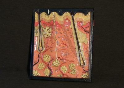 Modello di sezione della cute con ghiandole sudoripare, sebaccee, bulbi piliferi.
