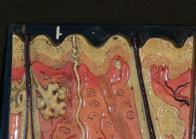 Modello di sezione della cute con ghiandole sudoripare, sebaccee, bulbi piliferi. (5)