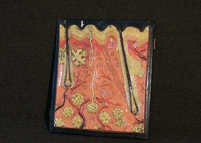 Modello di sezione della cute con ghiandole sudoripare, sebaccee, bulbi piliferi. (7)