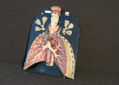 Modello di trachea e polmoni