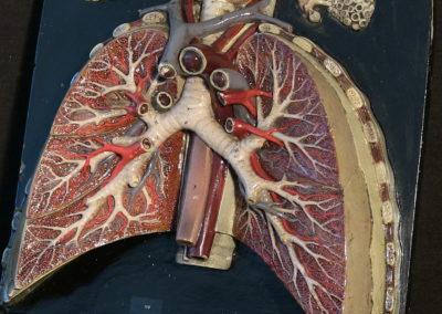 Modello di trachea e polmoni (particolare), 3