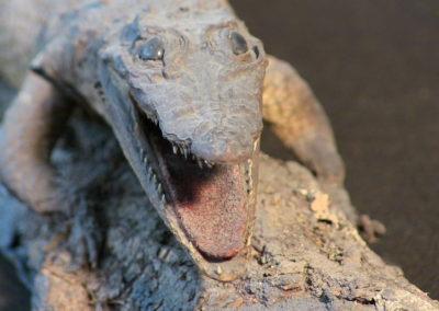 Piccolo coccodrillo tassidermizzato (particolare) (2)