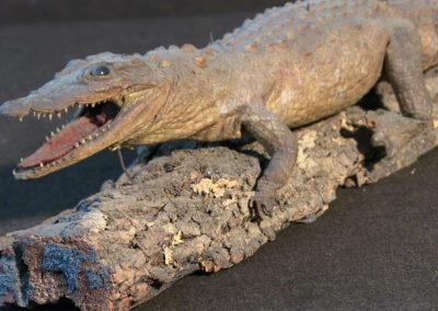 Piccolo coccodrillo tassidermizzato (particolare) (4)