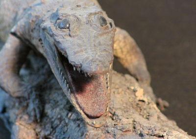 Piccolo coccodrillo tassidermizzato (particolare)