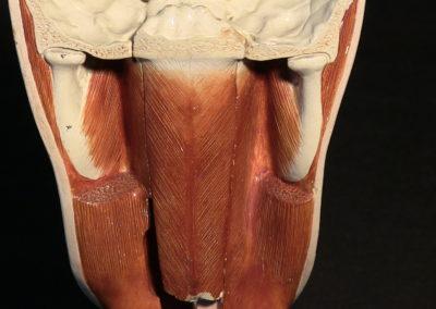 Sezione del modello della faccia (particolare), 2