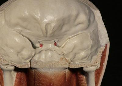 Sezione del modello della faccia (particolare)