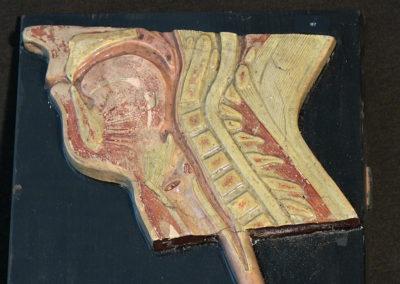 Sezione trasversale del capo, faringe, laringe.