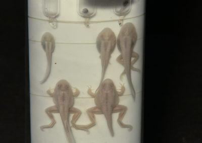 Sviluppo e metamorfosi della rana, 3