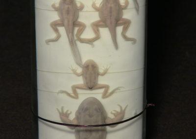 Sviluppo e metamorfosi della rana, 4
