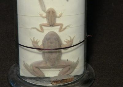 Sviluppo e metamorfosi della rana, 5