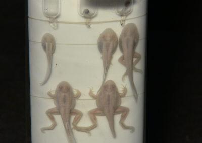 Sviluppo e metamorfosi della rana, 8