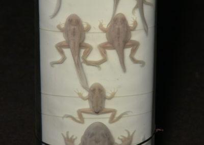 Sviluppo e metamorfosi della rana,7