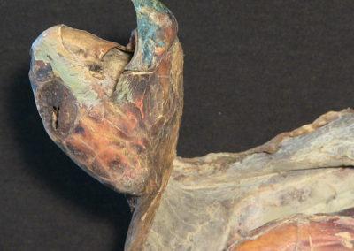 Tartaruga marina (carapace, testa, arti, immagine ventrale), (3)