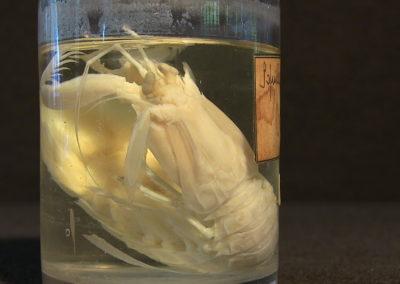crostaceo (Sofuilla mantis)