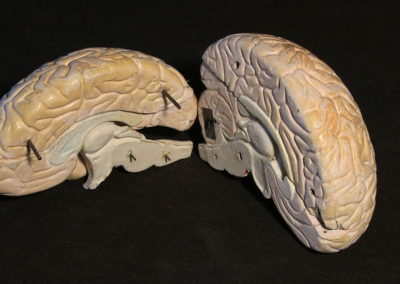 modello del cervello (sezione longitudinale a livello della scissura centrale) (2)