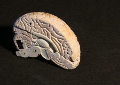 modello del cervello (sezione longitudinale a livello della scissura centrale)
