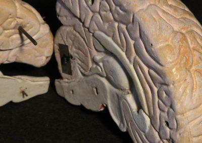modello del cervello (sezione longitudinale a livello della scissura centrale, particolari), 2